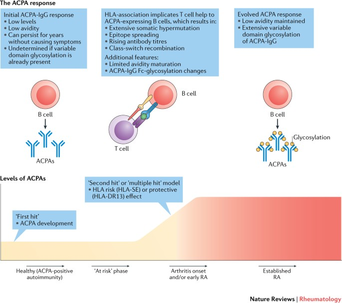 The B Cell Response To Citrullinated Antigens In The Development Of Rheumatoid Arthritis Nature Reviews Rheumatology