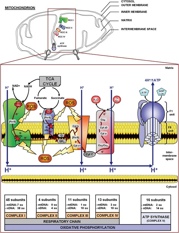 Mitochondrial respiratory chain complexes: apoptosis sensors mutated in  cancer?   OncogeneNature