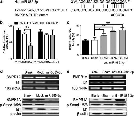 Microrna 885 3p Inhibits The Growth Of Ht 29 Colon Cancer Cell Xenografts By Disrupting Angiogenesis Via Targeting Bmpr1a And Blocking Bmp Smad Id1 Signaling Oncogene