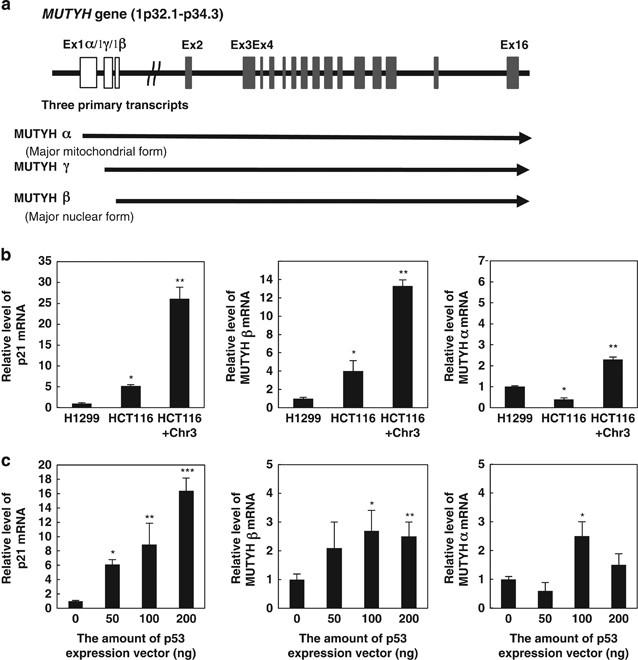 Mutyh An Adenine Dna Glycosylase Mediates P53 Tumor Suppression Via Parp Dependent Cell Death Oncogenesis