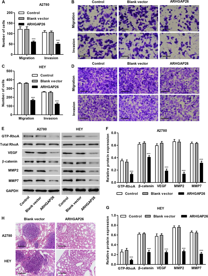 SMURF1-mediated ubiquitination of ARHGAP26 promotes ovarian