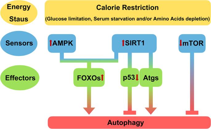 Mechanisms and disease implications of sirtuin-mediated autophagic reg