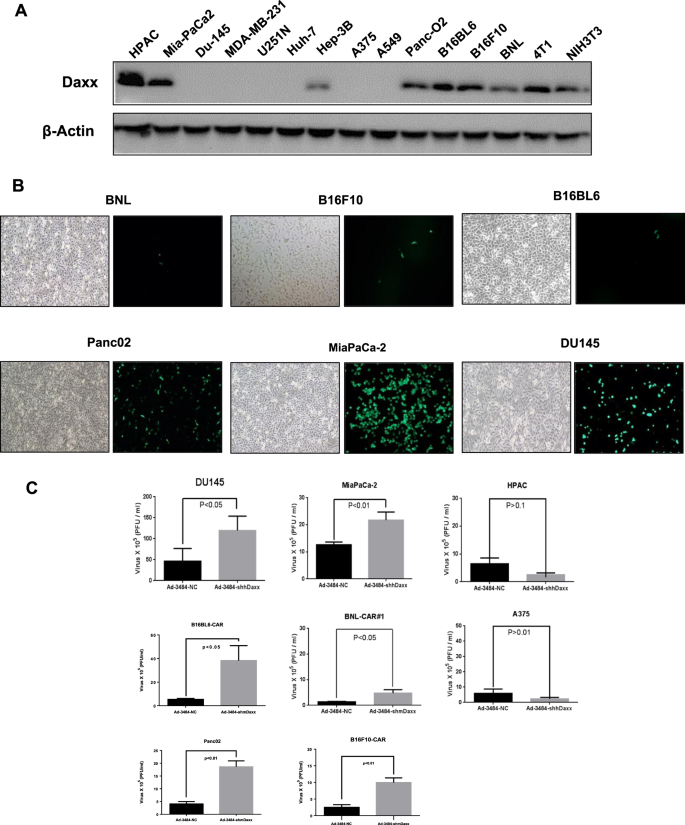 High levels of Daxx due to low cellular levels of HSP25 in murine canc