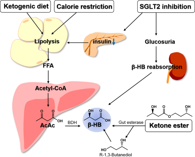 c elegans ketogenic diet