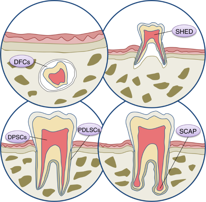 Stem cell-based bone and dental regeneration: a view of microenvironme