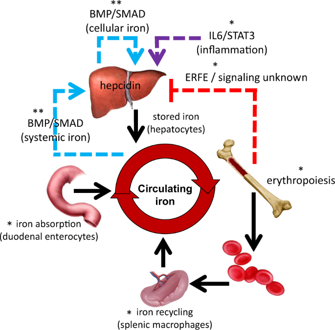 Dysregulated iron metabolism in polycythemia vera: etiology