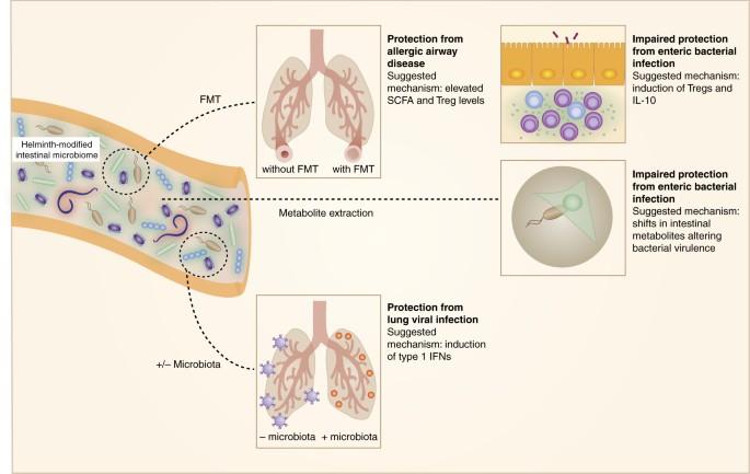 helmint terápia mikrobiota