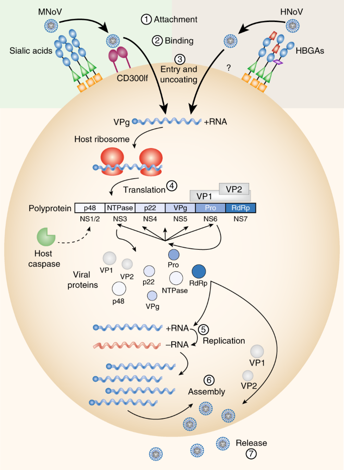 Norovirus encounters in the gut: multifaceted interactions and disease