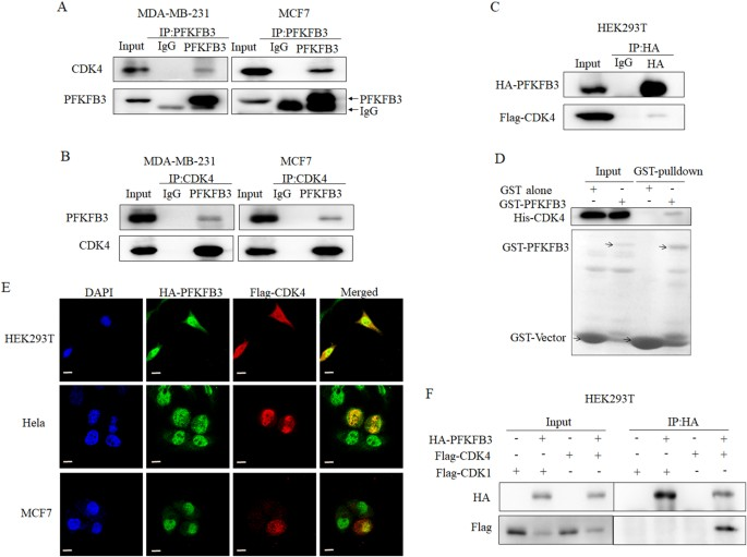 Non-canonical roles of PFKFB3 in regulation of cell cycle