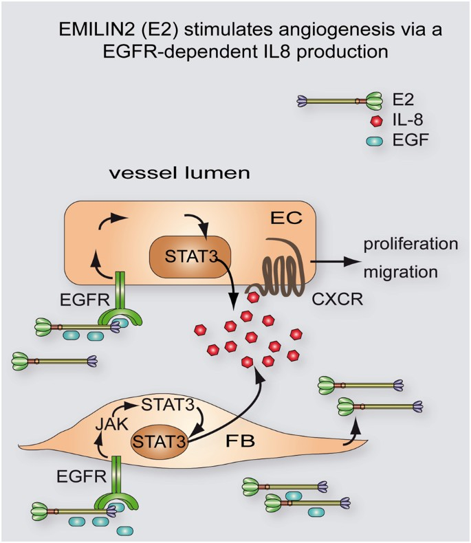 The ablation of the matricellular protein EMILIN2 causes defective