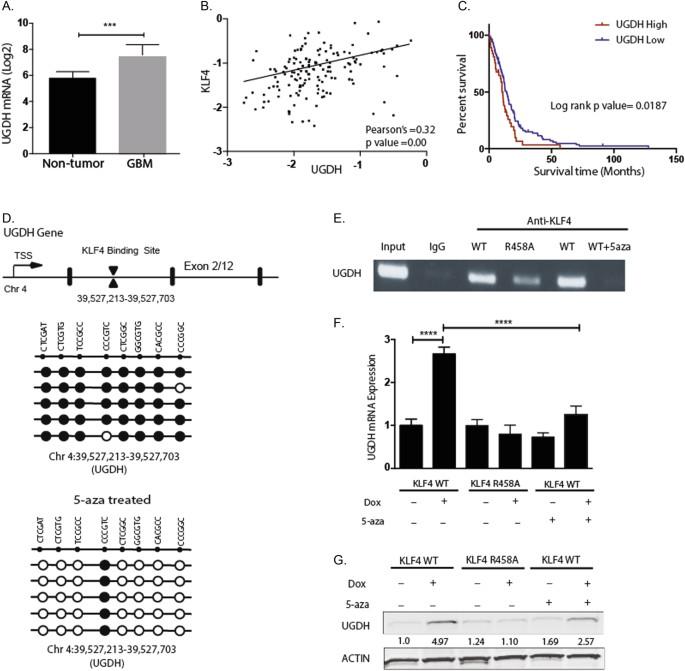 Targeting UDP-α- d -glucose 6-dehydrogenase inhibits