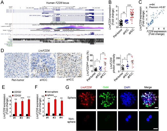 LncFZD6 initiates Wnt/β-catenin and liver TIC self-renewal