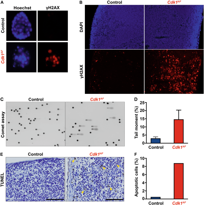 Premature activation of Cdk1 leads to mitotic events in S
