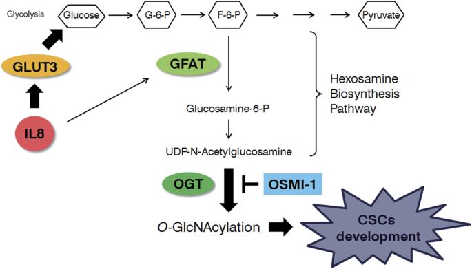 IL-8-induced O -GlcNAc modification via GLUT3 and GFAT regulates