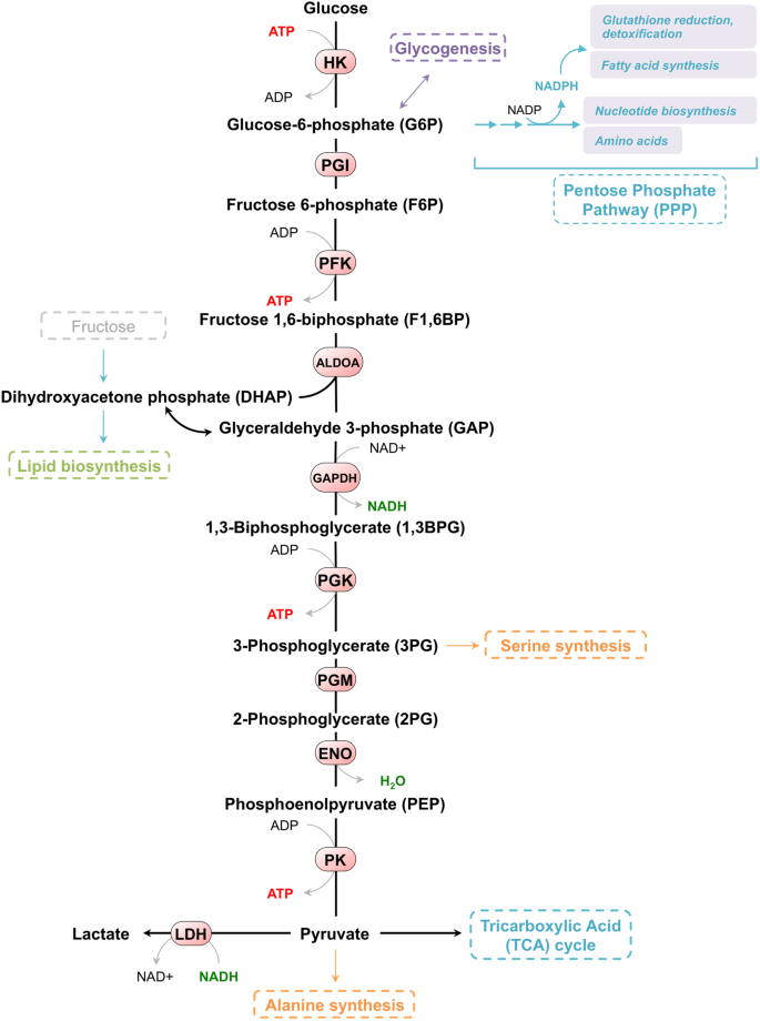 schematic diagram of glycolysis  schematic drawing shows the steps and  specific enzymes of the glycolytic pathway that converts glucose in  pyruvate through