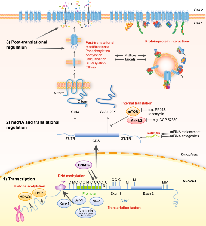 Connexins in cancer: bridging the gap to the clinic | Oncogene