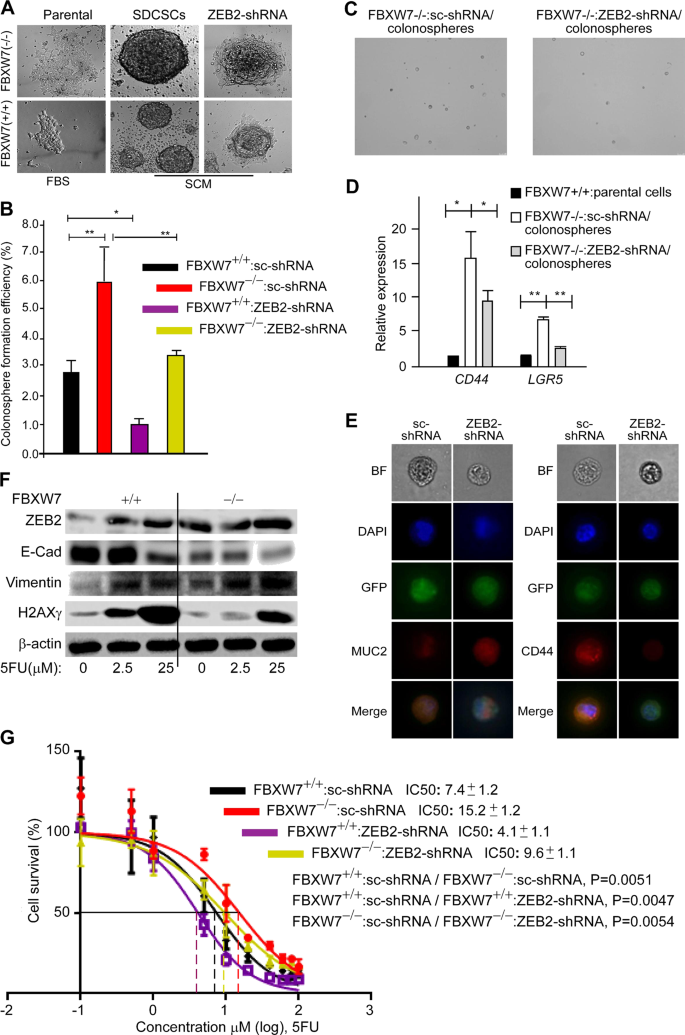 An FBXW7-ZEB2 axis links EMT and tumour microenvironment to