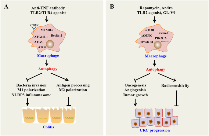 The Role Of Autophagy In Colitis Associated Colorectal Cancer Signal Transduction And Targeted Therapy