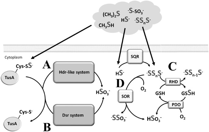 A novel bacterial sulfur oxidation pathway provides a new link