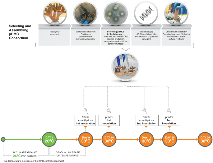 Marine probiotics: increasing coral resistance to bleaching through mi