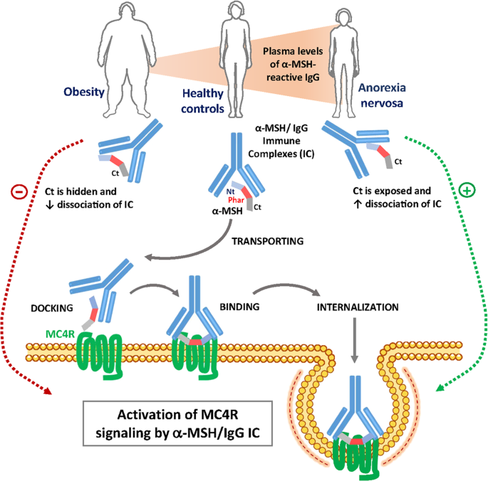 Immunoglobulin G Modulation Of The Melanocortin 4 Receptor Signaling In Obesity And Eating Disorders Translational Psychiatry