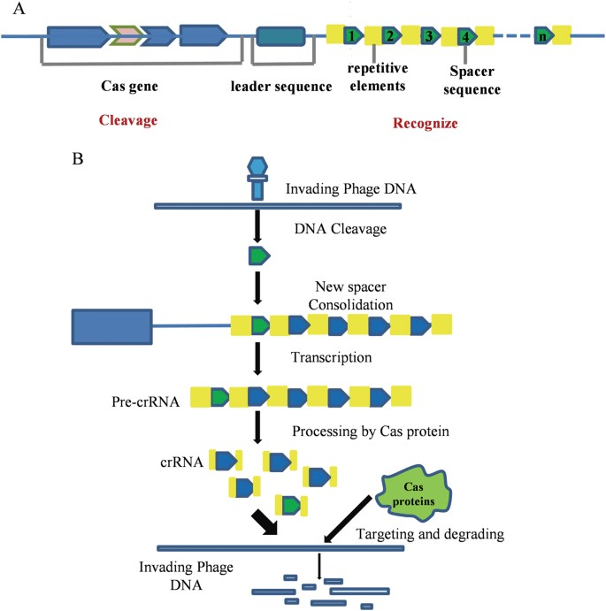 CRISPR/Cas9 genome editing technology significantly accelerated