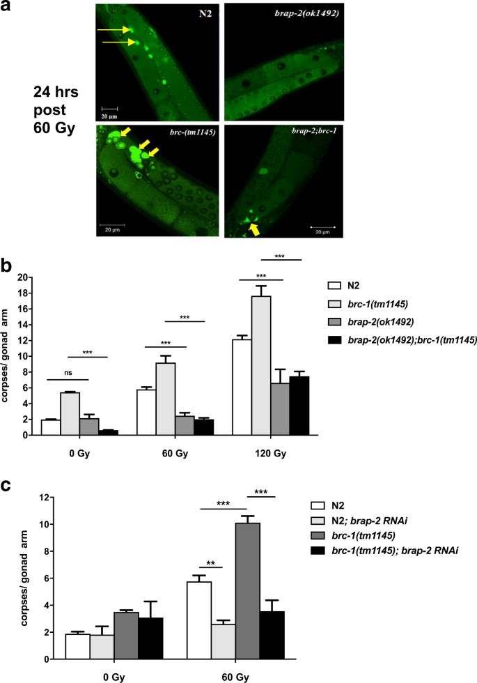 BRAP-2 promotes DNA damage induced germline apoptosis in C