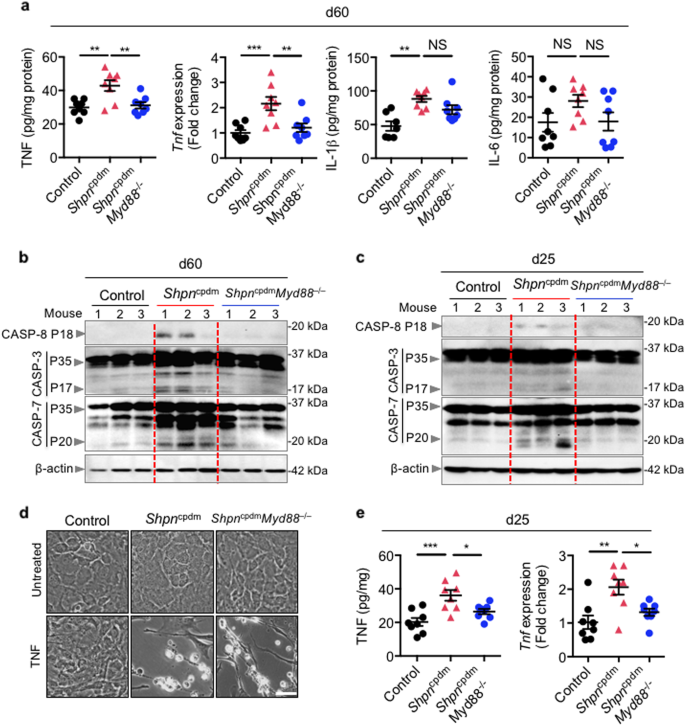 Innate immune adaptor MyD88 deficiency prevents skin
