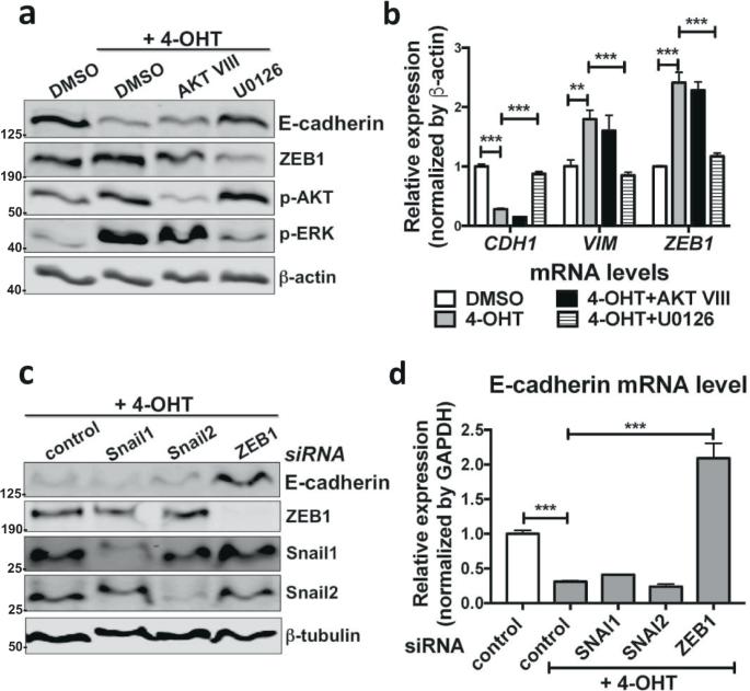Paracrine signalling during ZEB1-mediated epithelial–mesenchymal