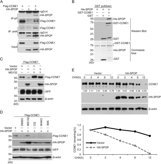 SPOP suppresses prostate cancer through regulation of CYCLIN E1
