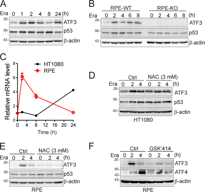 ATF3 promotes erastin-induced ferroptosis by suppressing system Xc &#8