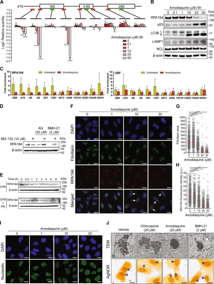 The antimalarial drug amodiaquine stabilizes p53 through ribosome biog