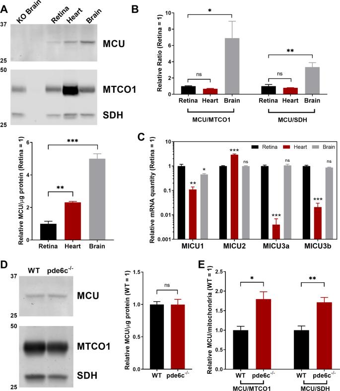Increasing Ca 2+ in photoreceptor mitochondria alters metabolites, acc