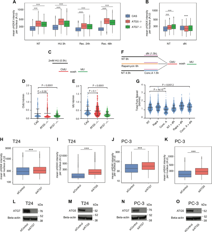 Autophagy role(s) in response to oncogenes and DNA