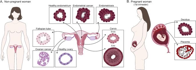 organoidi studio fertilità femminile fertility female organoids
