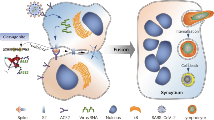 SARS-CoV-2 spike protein dictates syncytium-mediated lymphocyte elimination  | Cell Death & Differentiation