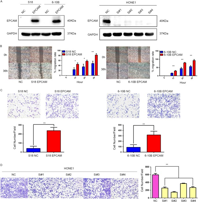 Epithelial cell adhesion molecule overexpression regulates