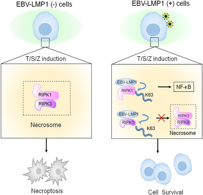 Epstein-Barr virus encoded latent membrane protein 1