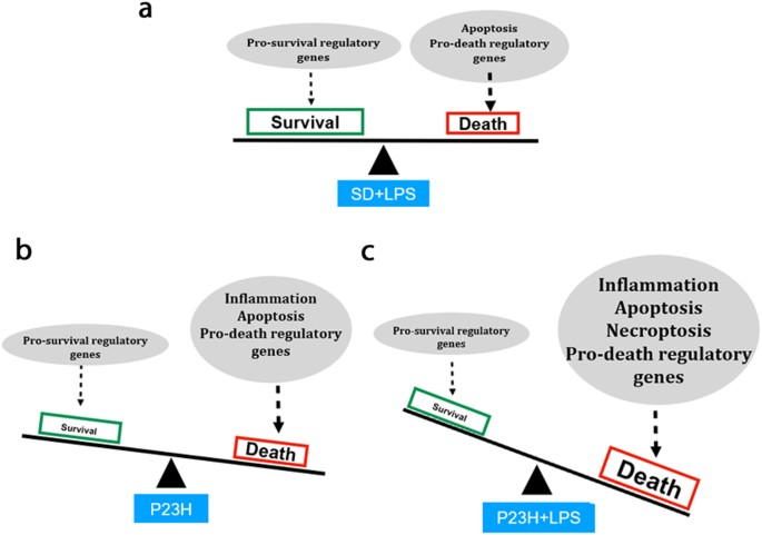 Systemic inflammation induced by lipopolysaccharide