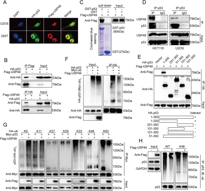 USP49 participates in the DNA damage response by forming a