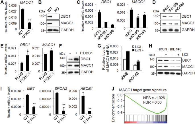 DBC1 regulates Wnt/β-catenin-mediated expression of MACC1, a