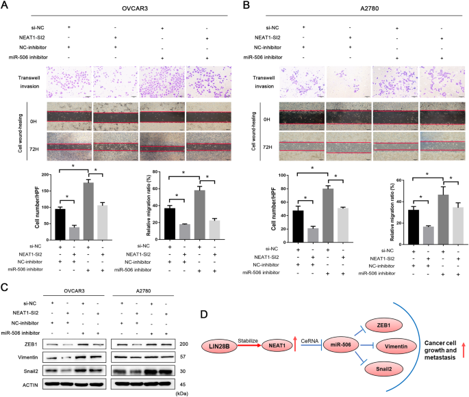 Long noncoding RNA NEAT1, regulated by LIN28B, promotes cell