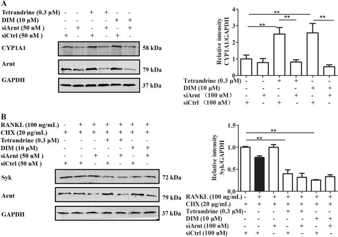 Tetrandrine enhances the ubiquitination and degradation of