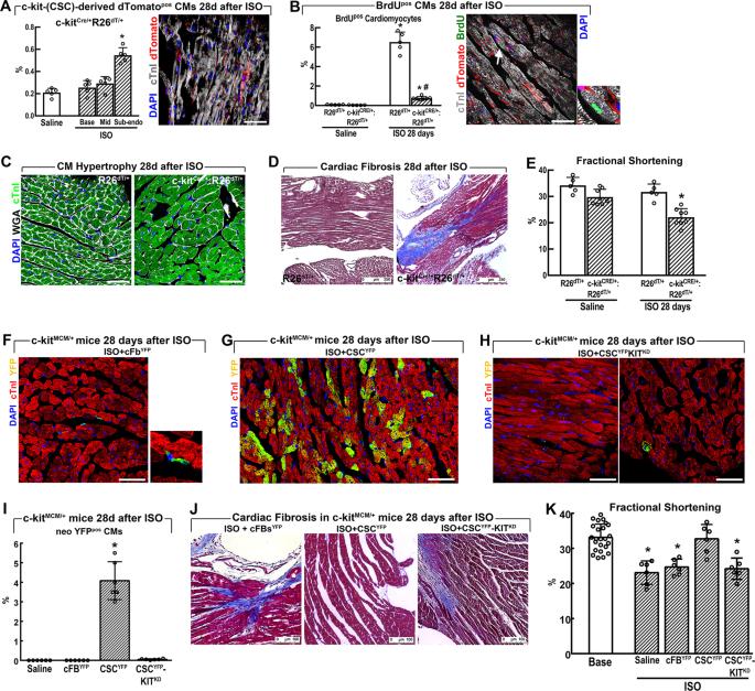 c-kit Haploinsufficiency impairs adult cardiac stem cell