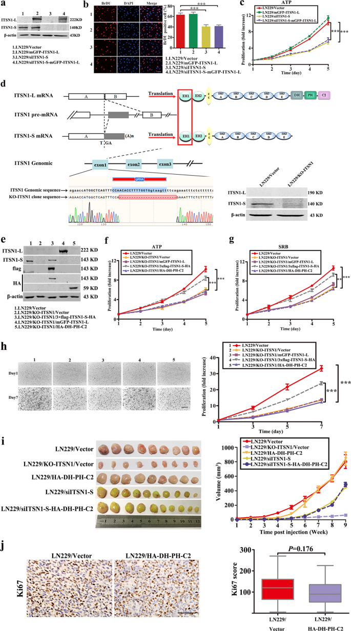 Alternative splicing-derived intersectin1-L and intersectin1