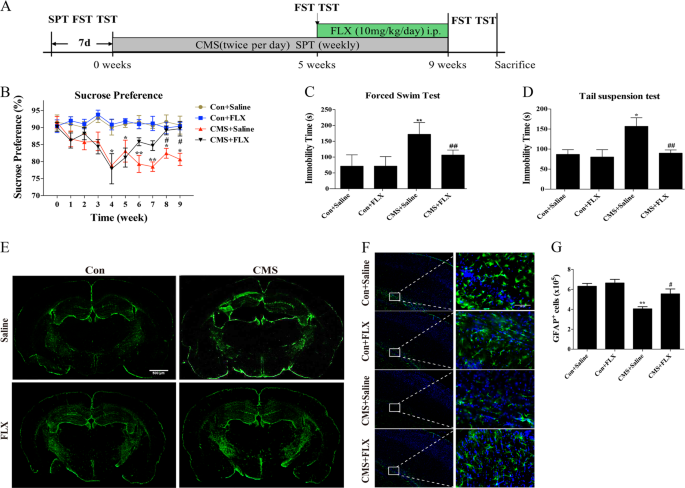The effect of fluoxetine on astrocyte autophagy flux and injured mitoc