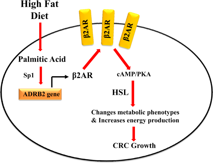 High Fat Diet Feeding And Palmitic Acid Increase Crc Growth In B2ar Dependent Manner Cell Death Disease