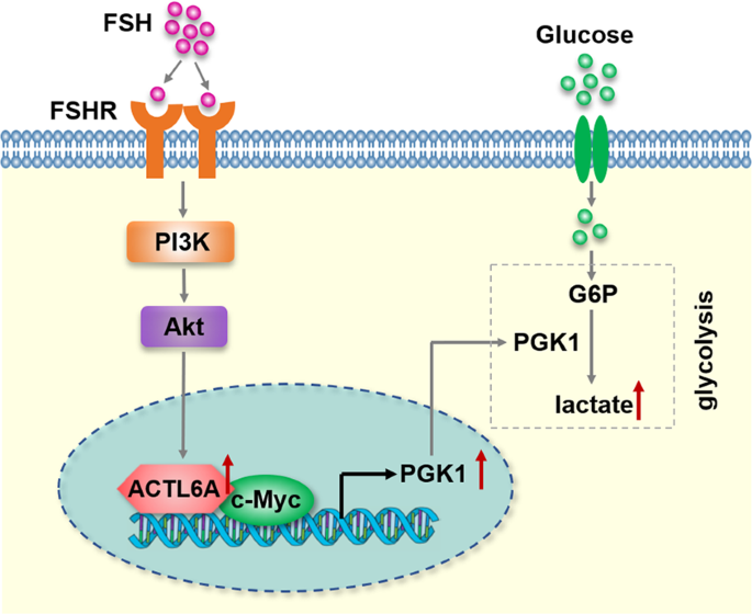 Actl6a Regulates Follicle Stimulating Hormone Driven Glycolysis In Ovarian Cancer Cells Via Pgk1 Cell Death Disease