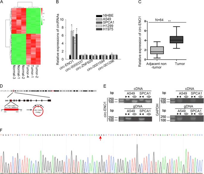 CircRNA-ENO1 promoted glycolysis and tumor progression in lung adenoca