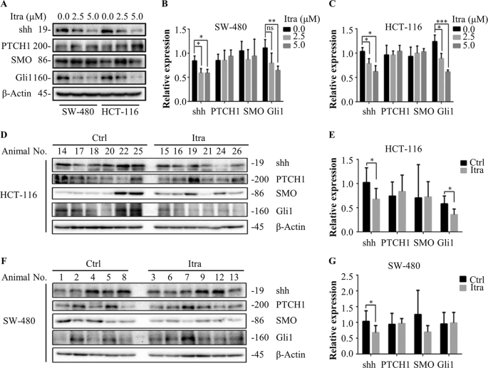 Itraconazole Inhibits The Hedgehog Signaling Pathway Thereby Inducing Autophagy Mediated Apoptosis Of Colon Cancer Cells Cell Death Disease
